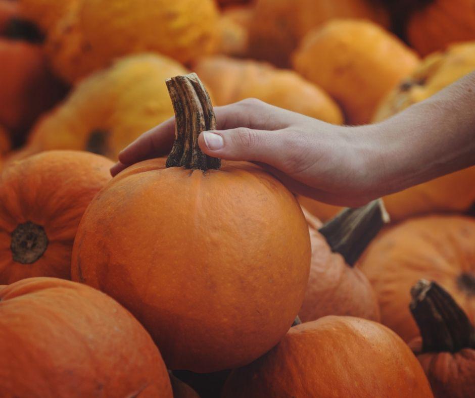 Pumpkin Picking Branson